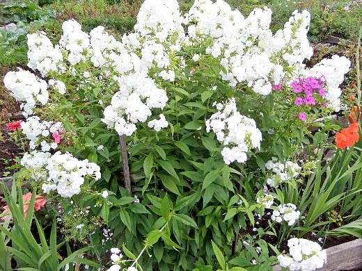 флоксы, выращивание и уход - цветы многолетние белые