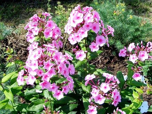 флоксы, выращивание и уход - многолетние розовые