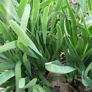 лук-слизун, выращивание из семян