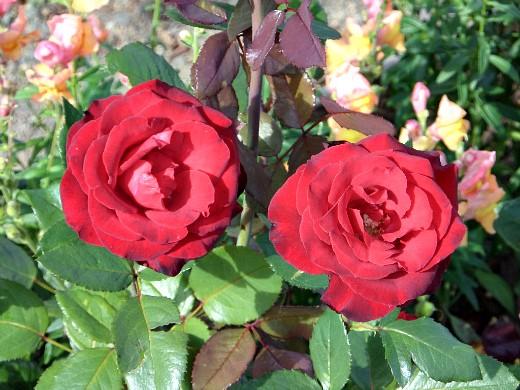 розы на даче, посадка и уход - на дачном участке