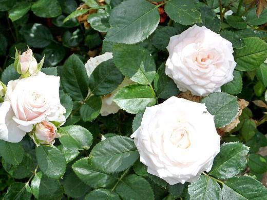 розы на даче, посадка и уход - нежно-розовые