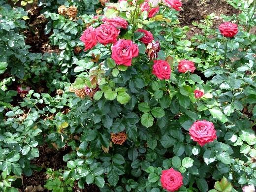 розы на даче, посадка и уход - цветы