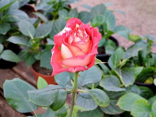 розы на даче, посадка и уход - цветы на клумбе
