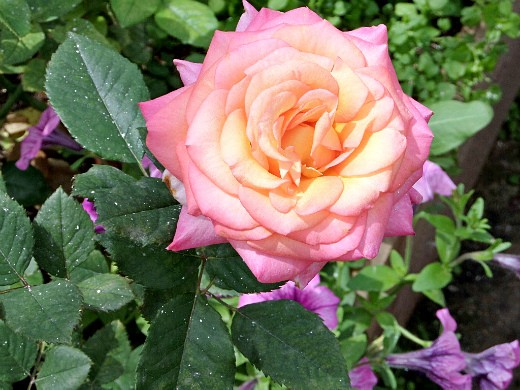 розы на даче, посадка и уход - цветы на даче