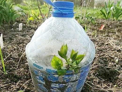 размножение черенками кустарников 1-1