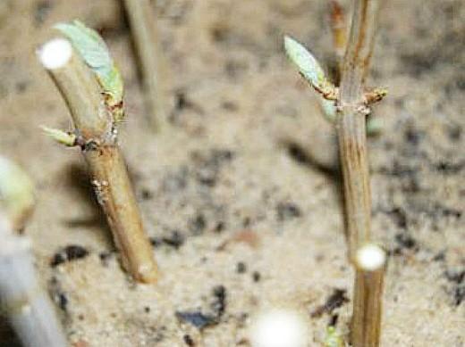 размножение черенками кустарников 1-4