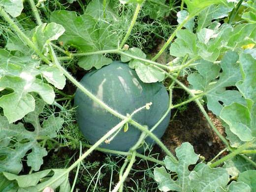 выращивание арбузов в открытом грунте на даче