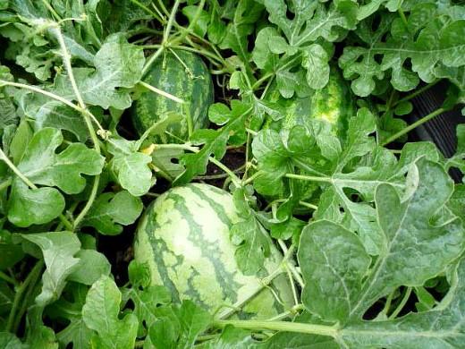 выращивание арбузов в открытом грунте на дачном участке