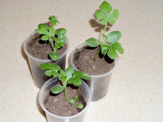 выращивание арбузов в открытом грунте - рассада