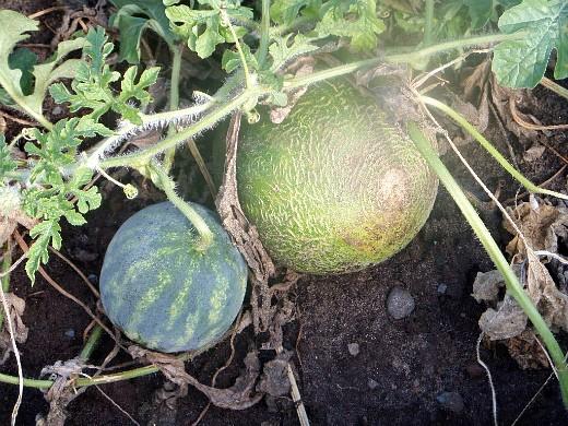 выращивание дыни на даче - дыни и арбузы на одной грядке