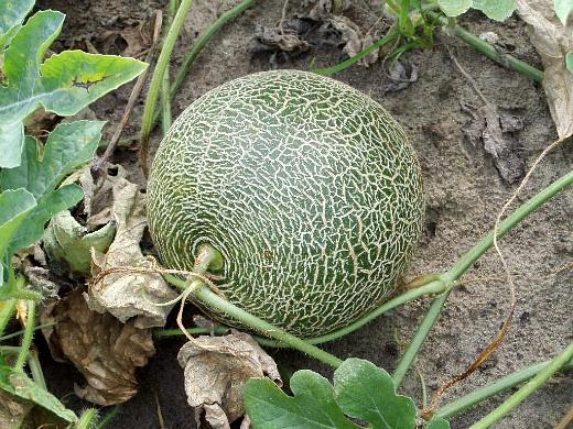 выращивание дыни на даче - неспелая дыня