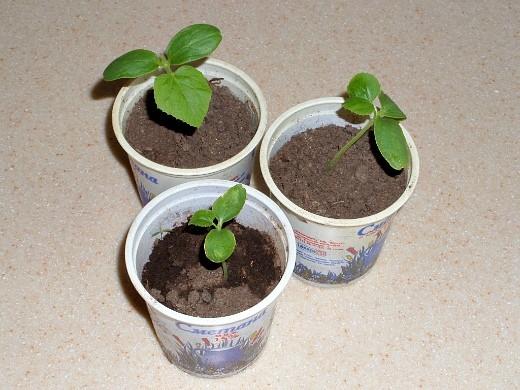 выращивание дыни на даче - рассада дыни