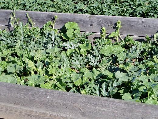 выращивание дыни на даче - совместная посадка в парнике дынь и арбузов