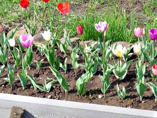 болезни луковиц тюльпанов 1-1