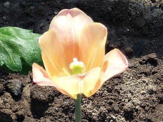 болезни луковиц тюльпанов - вирус пестролепестности
