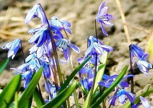 посадка луковичных цветов - пролеска