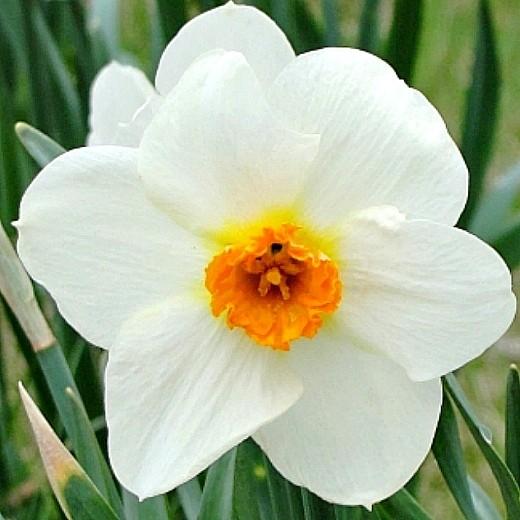 посадка луковичных цветов - нарцисс