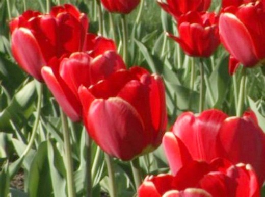 посадка луковичных цветов - тюльпаны