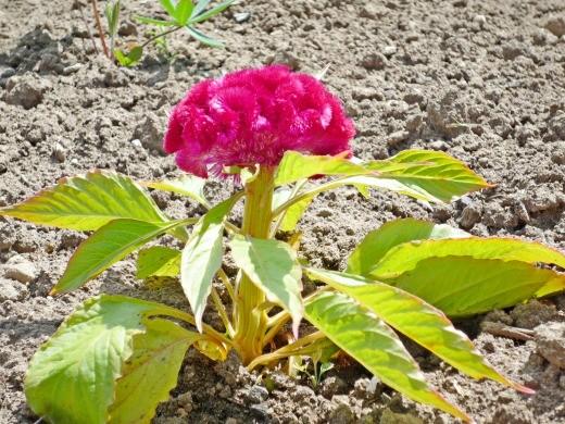 целозия выращивание и уход - гребенчатая