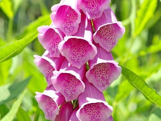 цветы наперстянка, выращивание - сорт мария медичи