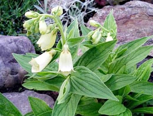цветы наперстянка, выращивание между камней