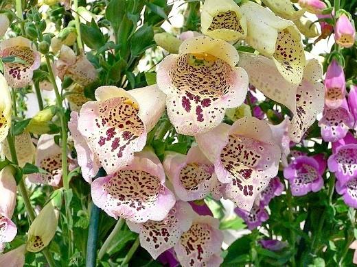 цветы наперстянка, выращивание - сорт эксельсиор