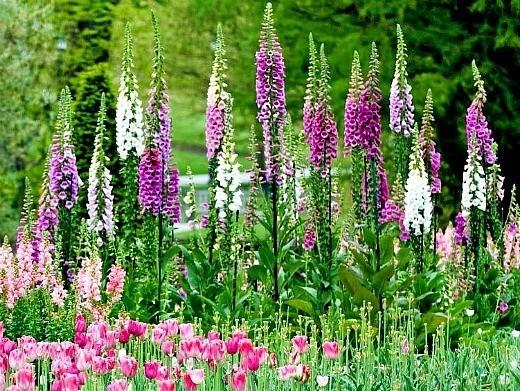 """цветы наперстянка, выращивание - высокие """"свечки"""""""
