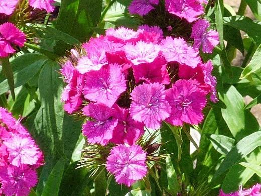 Двухлетние цветы на даче