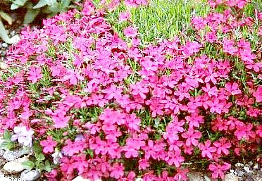 флоксы выращивание, размножение, уход - цветочная клумба