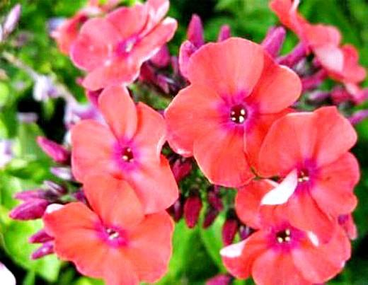 флоксы выращивание, размножение, уход - цветы на даче