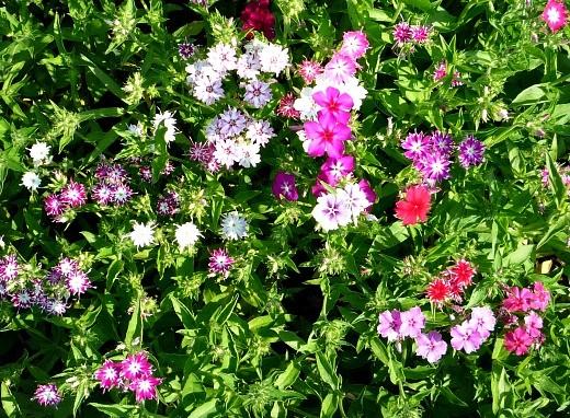флоксы выращивание, размножение, уход - яркие звездочки цветов