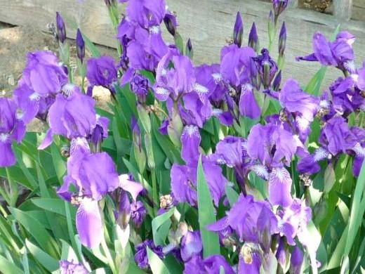 ирисы, посадка и уход - цветы в рабатке