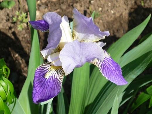 цветы ирисы, посадка и уход - на клумбе