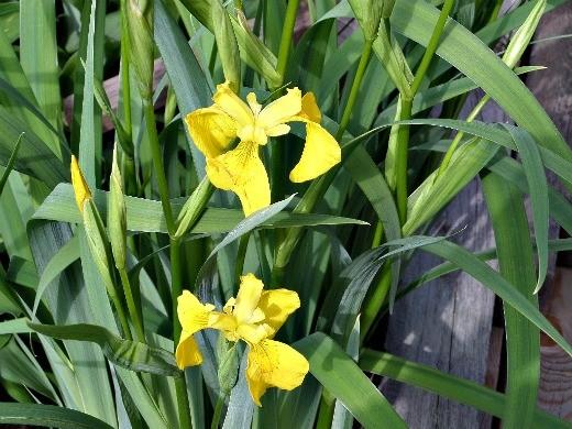 цветы ирисы, посадка и уход - желтые