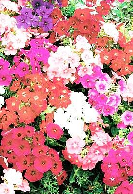 флоксы - выращивание, размножение, уход - семена радужный набор