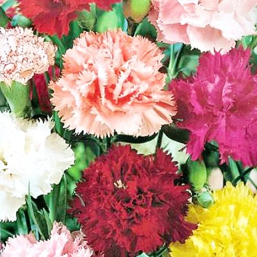 цветы гвоздика садовая, выращивание - семена сорт шабо