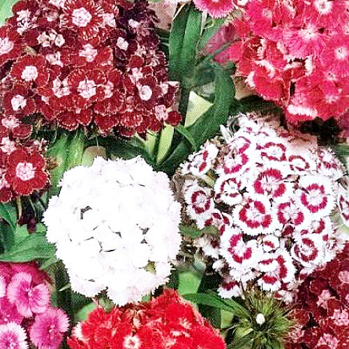 цветы гвоздика турецкая , выращивание - семена сорт летняя фантазия