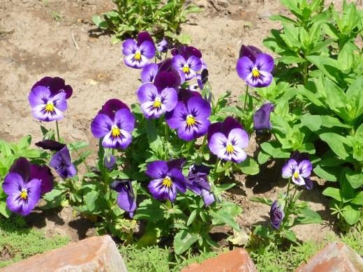 цветы анютины глазки, выращивание на клумбе
