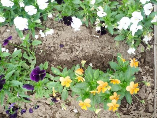 цветы анютины глазки, выращивание на дачной клумбе