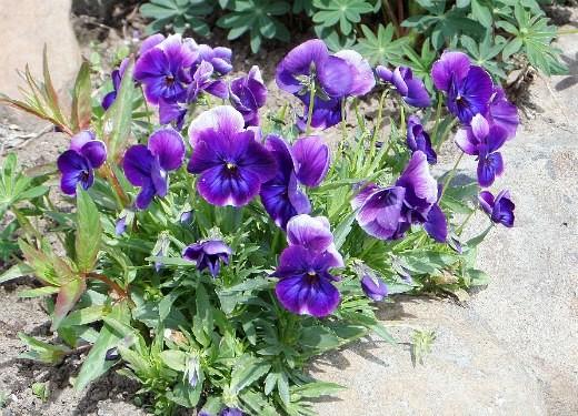 цветы анютины глазки, выращивание - фиолетовые