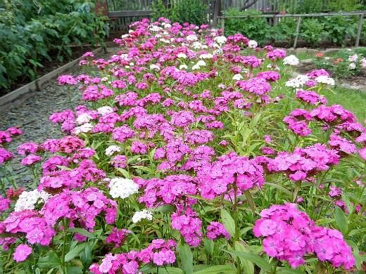 цветы гвоздика, выращивание на клумбе