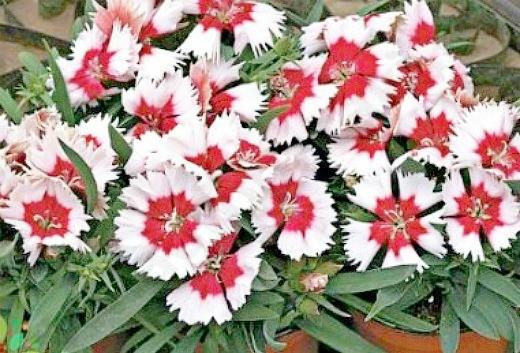 цветы гвоздика, выращивание на дачной клумбе