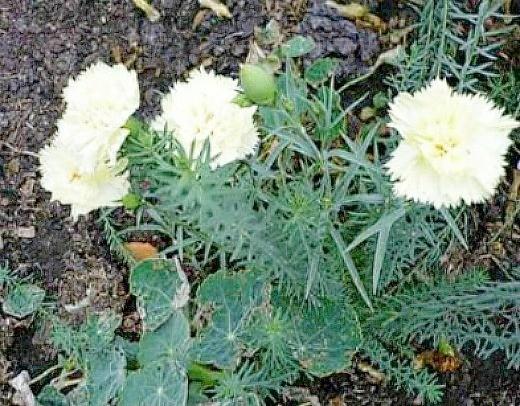 цветы перистая гвоздика, выращивание