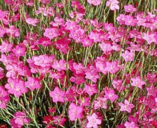 цветы гвоздика, выращивание - травянка