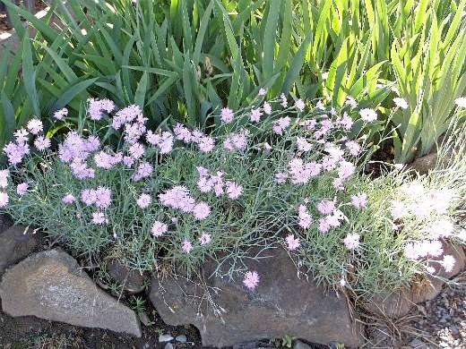 цветы перистая гвоздика, выращивание в дачной рабатке