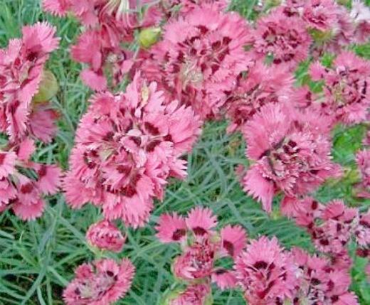цветы гвоздика, выращивание на даче