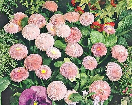 цветы маргаритки, выращивание - сорт tasso pink