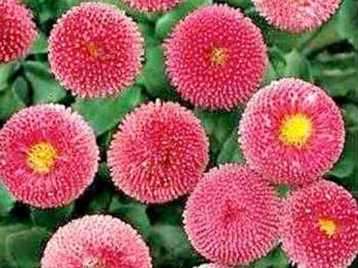 цветы маргаритки, выращивание - сорт bellissima rose