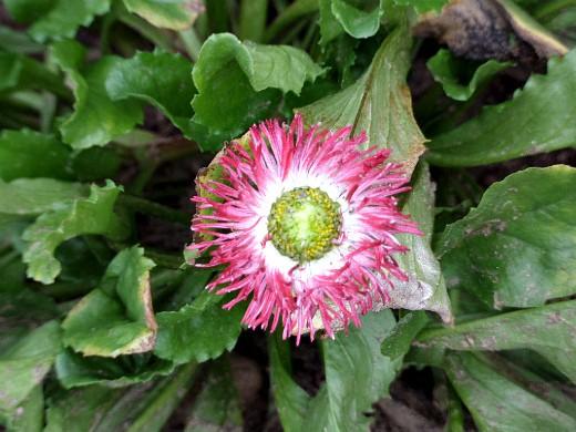 цветы маргаритки, выращивание - хабанера
