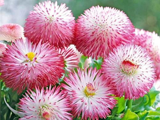 цветы маргаритки, выращивание - помпонная розовая